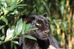 Panthère noire (Passion Animaux & Photos) Tags: panthere noire black leopard zoo amneville france