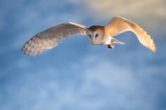 Barn owl in flight (1 of 1) (Jami Bollschweiler Photography) Tags: barn owl flight utah wildlife photographer owls