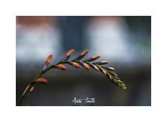 _ATP9887 (anahí tomillo) Tags: naturaleza nature nikond7500 flores flowers bokeh