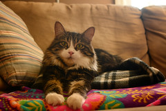 Gizzard! (aka Gizmo) (flashfix) Tags: march232019 2019inphotos flashfix flashfixphotography ottawa ontario canada nikond7100 40mm portrait gizmo cat feline paws blankets couch watching curious pose poser whiskers fluffy