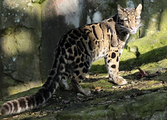 clouded leopard Ouwehands 094A0624 (j.a.kok) Tags: animal predator panter panther leopard luipaard cloudedleopard nevelpanter neofelisnebulosa zoogdier dier asia azie ouwehands mammal