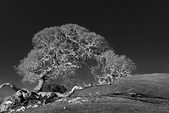 Fallen but Still Growing (allentimothy1947) Tags: bw califonia colemanvalleyrd sonomacounty blackandwhite coastalmountains hill moody oak plant tree nature pasture land environment dramatic texture
