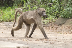IMG_7133 (Rorals) Tags: monkey primate animal mammal safari wildlife africa southafrica kruger baboon nature