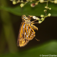 Pyroneura derna (GeeC) Tags: tatai hesperiidae pyroneura cambodia nature pyroneuraderna arthropoda hesperioidea kohkongprovince insecta animalia hesperiinae lepidoptera butterfliesmoths skipperbutterflies