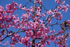 Cherry tree in bloom @ Lac de la Balme de Sillingy @ Hike to Montagne de la Mandallaz & Lac de La Balme de Sillingy (*_*) Tags: europe france hautesavoie 74 spring printemps 2019 march annecy tree cherry cerisier flower nature jura savoie pink rose lacdelabalme randonnée walk marche hiking labalmedesillingy