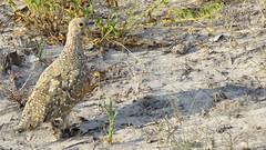 Botswana Sandgrouse (h0n3yb33z) Tags: botswana animals wildlife sandgrouse bird africa