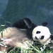 Mei Xiang (Hello, Cam Monitor! I'm trying to get some shut eye here, can you please tell them to keep the noise down?) 2019-04-07 at 6.13.55 PM