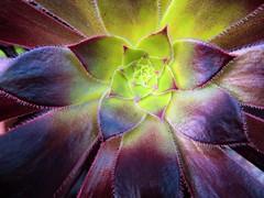Aeonium (scrappy annie) Tags: flower succulent aeonium macro