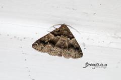 Unknown Moth, Randburg, Feb 2019 (roelofvdb) Tags: 2019 date february gauteng moth mothsofsafrica place randburg year unknownmoth