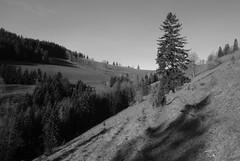 VISITING THE LONELY CHRISTMAS TREE TODAY (LitterART) Tags: christmastree tree steiermark alm monochrome sonyrx100 path steig pfad meadow wiese almwiese fichte spruce abandoned christmas wacholderstrauch wacholder juniperberries juniper