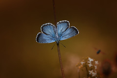 Blue star (♥ ⊱ ╮Juergen╭ (mostly off/ PC down and att) Tags: nature nikon naturfotografie naturdokument nikkor natural butterfly outdoor open meadow plants blue commonblue