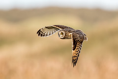 Short Eared Owl (Simon Stobart) Tags: short eared owl asio flammeus flying north east england uk