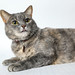 A215651 -- Coco - grey tabby cat