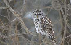 Barred Owl (hd.niel) Tags: barredowl owls wildlife nature photogrpahy cloudy misty ontario