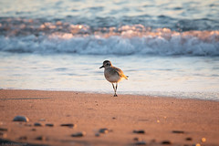 Sunrise stroll (Through_Urizen) Tags: animalsbirdsinsects antalya birds category goynuk miradadelmar places sunrise turkey canon canon70d tamron70200g2 bird wildlife walk stroll morning wave beach sea water sand wild depthoffield beachlife mediterranean coastal coast seashore