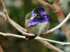 Costa's Hummingbird (Edhorton) Tags: henderson bird viewing preserve hummingbird las vegas nevada wildlife duck teal rehead bufflehead