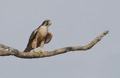 Lanner Falcon (Falco biarmicus) (berniedup) Tags: rooikop nossob kgalagaditransfrontierpark lannerfalcon falcobiarmicus falcon taxonomy:binomial=falcobiarmicus kgalagadi