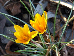 Now Spring Is In the Air (2) (Marit Buelens) Tags: flower bloem plant yellow crocus spring lente frühling belgium belgië flanders vlaanderen brugge bruges