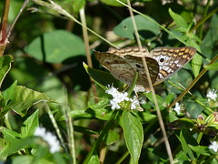 P1210754  White Peacock (birder2015 Toronto, Canada) Tags: whitepeacock butterfly mariposa lepidoptera insect wildflower holguincuba