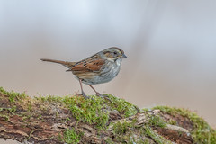 Swamp sparrow (Joe Branco) Tags: photoshop lightroom sparrows sparrow canada ontario nature wildlife macro branco joe swampsparrow birds bird wildlifephotographer grass nikond850 nikon joebrancophotographer green