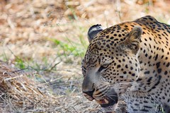 Leopard @ Harnas (SuzieAndJim) Tags: namibia africa harnas leopard suzieandjim