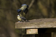 A PAIR OF TITS ALL GREAT AND BLUE (Gaz West) Tags: a pair of tits all great and blue