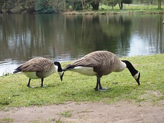 P3190710 (simonrwilkinson) Tags: beltonhouse grantham lincolnshire bird canadagoose