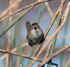 I'm Talkin' to You! (sonstroem) Tags: bird birdwatching cosumnesriverpreserve centralvalley california nature natural