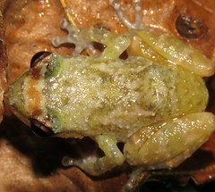 Diasporus diastema (Birdernaturalist) Tags: amphibian anura costarica frog herp richhoyer