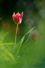 Tulipe précoce-Tulipa raddii (PatNik01) Tags: tulipeprecoce tuliparaddii fleur france drome flower flowers macro proxy nature rouge wild wildlife bokeh flare nikon