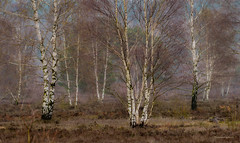 Tütsberg - Birkenhain (Pana53) Tags: photographedbypana53 pana53 naturundlandschaftsfotografie naturfotografie heidelandschaft florafauna birkenhain feldhase tütsberg naturschutzgebiet niedersachsen nikon nikond500