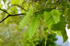Leaves Growing on Tree (Jonatan Svensson Glad (Josve05a)) Tags: beauty natural summer day outdoors environment fall plant season green organic park outdoor tree leaf leaves grass growth autumn branch flora twig agriculture sweden tyresö stockholmslän sverige se
