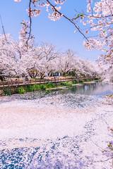 Cherry blossoms (Hiro_A) Tags: sakura cherryblossoms pond flower saijo ehime shikoku japan pink nikon d7200 sigma 1770 1770mm spring