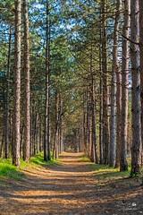 У сосновому лісі (ucrainis) Tags: nature zaporizhzhia ukraine khortytsia trees tree pine wood forest spring