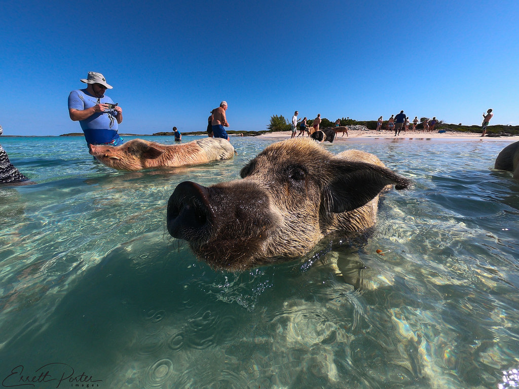 The World's Best Photos of bahamas and pigs - Flickr Hive Mind