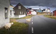 the locals (Ela Dzimitko) Tags: norway varanger vardo norwegia arctic arcticcircle finnmark finnmarka wildlife vanlife wildcamp wildcamping road village architecture house roadtrip ela stunningoutdoors freedom