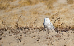 Enjoying the sunshine (WhiteEye2) Tags: snowyowl owl snowy wildlife nature massachusetts ma dunes sand beach