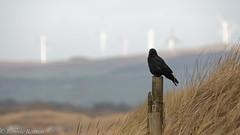 crow and windmills (RCB4J) Tags: art ayrshire ayrshirecoast irvinebeach photography rcb4j ronniebarron scotland sigma150500mmf563dgoshsm sonyilca77m2 nature wildlife landscape windmills windfarm beach dunes grasses composition