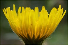 Sunlight through dandelion petals... (déise.portláirge) Tags: sunshine sunlight dandelion petals yellowflowers yellowpetals depthoffield mothernature wildflower wildflowers yellowwildflower naturedetails naturecloseup naturalworld coloursofnature colourfulnature amateurphotography