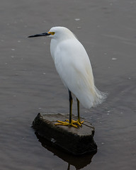 (seua_yai) Tags: northamerica california sanfrancisco thecity seuayai bird egret birdwatching sanfrancisco2019