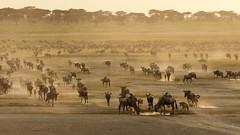 Great Migration (Ruedi Staehli) Tags: afrika gnu tansania welt wildebeest migration greatmigration wildlife africa outdoors dust herd