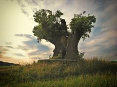 Der Hüter des Feldes (Maquarius) Tags: baum eiche oberfranken franken natur landschaft