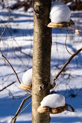 Snow Shelves (Northern Wolf Photography) Tags: 14140mm 61mm birch breakheart em5 forest mold mushrooms olympus snow tree winter woods saugus massachusetts unitedstatesofamerica us