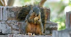 3 Methodically Removing Unripe Shell (Kaptured by Kala) Tags: sciurusniger foxsquirrel squirrel garlandtexas pecan closeup outsidemywindow brickwall eating feeding greenpecan unripepecan