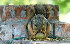 2 OCD Squirrel Eating A Green Pecan (Kaptured by Kala) Tags: sciurusniger foxsquirrel squirrel garlandtexas pecan closeup outsidemywindow brickwall eating feeding greenpecan unripepecan