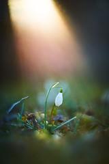 Risen from the Cold (matt.kueh) Tags: flower blume snowdrop schneeglöckchen sunset light flare rays sunrays bokeh bokehlicious vintagelens manualfocus m42 depthoffield helios40285mmf15 sonyilce7m2