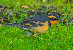 Varied Thrush--DSC9732--Port Orford, OR (Lance & Cromwell back from a Road Trip) Tags: birds thrush variedthrush lawn lawnbirds portorford currycounty oregon oregoncoast wildlife sony sonyalpha a57 tamron 150600mm tamron150600mmg2