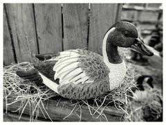 Ducktales 😉 #duck #eend #ducktales #bird #birds #vogel #vogels #blackandwhite #blacknwhite #bnw #bws #bw #noir #bnwphoto #bnwphotography #zwartwit #lovephotography #photography #photographer #fotografie #fotograaf (Chantal vander Reijden) Tags: ducktales blacknwhite zwartwit vogel bnw bnwphoto birds lovephotography fotografie fotograaf blackandwhite bw duck vogels bird eend noir bnwphotography photographer photography bws