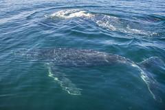Humpback whale (jercrix) Tags: whale whalewatching humpbackwhale wild nature nikon diving ocean ballena ballenajorobada mexico sea blue life underwater