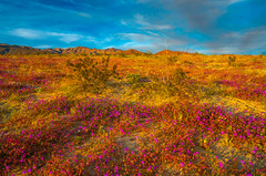 Anza Borrego Desert State Park Wild Flower Super Bloom! California Wildflowers Superbloom Fine Art Photography! Elliot McGucken Fine Art Landscape & Nature Photography! Sony A7R III & FE 16–35 mm G Master Wide-Angle Zoom Lens! Sony A7R3 (45SURF Hero's Odyssey Mythology Landscapes & Godde) Tags: sony a7r iii fe 16–35 mm g master wideangle zoom lens anza borrego desert state park wild flower super bloom california wildflowers superbloom fine art photography elliot mcgucken landscape nature a7r3 epic high resolution 4k 8k